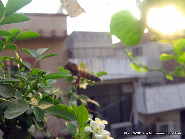 murraya flower attracts bees