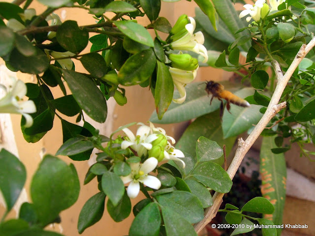 common lime butterfly on murraya marva lahore