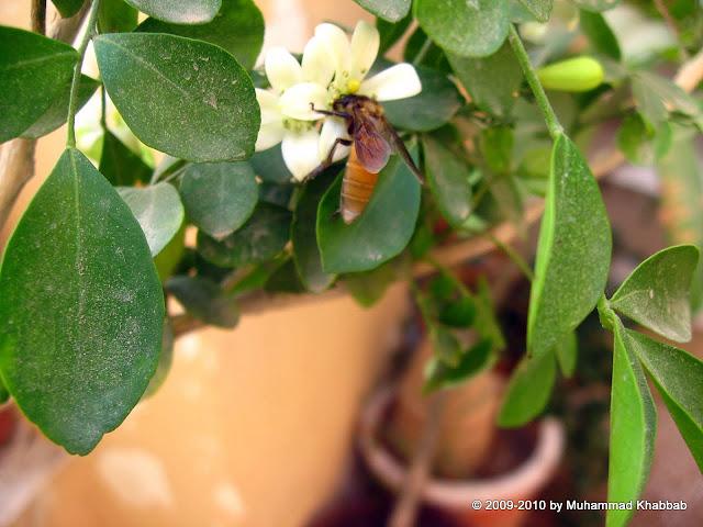 flower of murraya attracting a butterfly