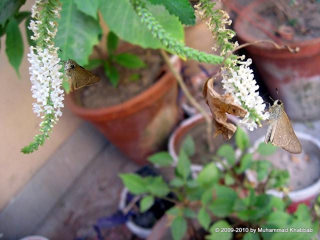 sweet almond verbena Aloysia virgata