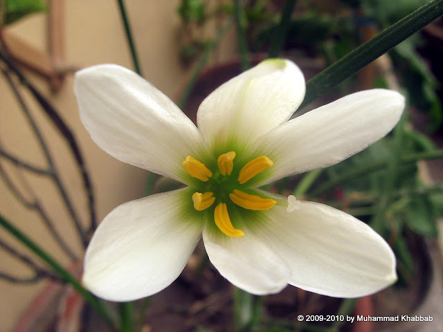 Zephyranthes candida white rain lily 