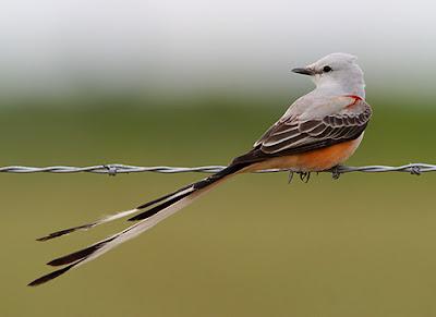 [Image: Scissor-Tail+Flycatcher.jpg]