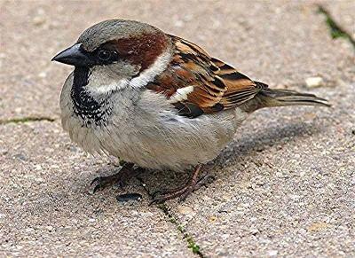 name house sparrow sci...