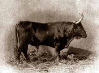 Foto decimonónica mostrando un toro de la ganadería de Vaz Monteiro, de pura casta portuguesa