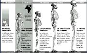 Evolución Esqueleto del Hombre