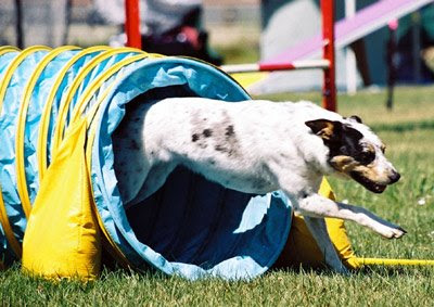 A mixed-breed dog demonstrates dog agility.