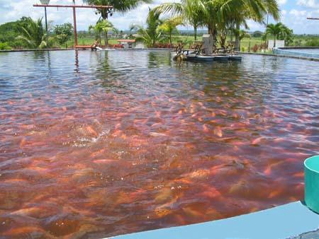 Proyecto piscicola cr a de mojarra trichalada en jaulas for Cria de tilapia