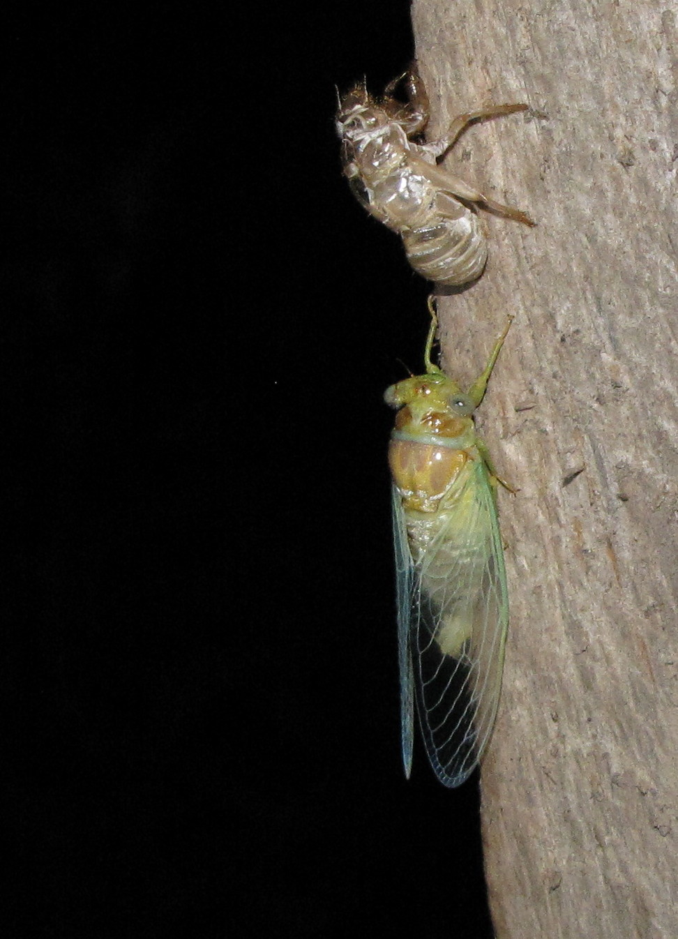 ... the insect splits its exoskeleton down the back. An adult cicada then ...