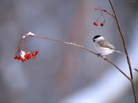 ptaków tapety