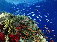 Coral maritimo