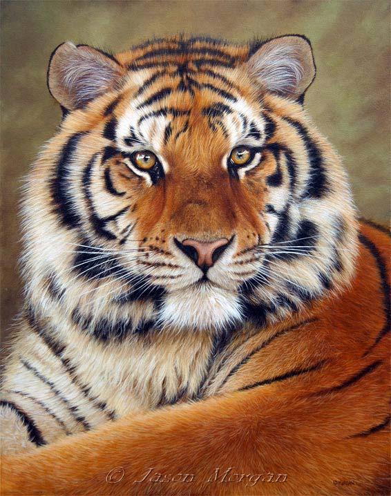 Siberian (Amur) Tiger: November 2010