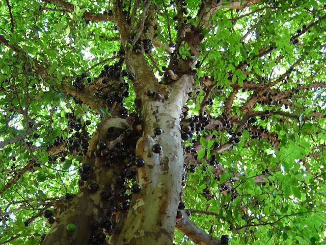 Jabuticaba the tree that fruits on its trunk kuriositas - Flowers that grow on tree trunks ...