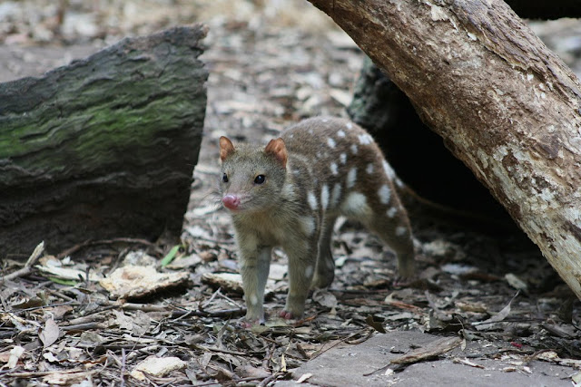 the quoll cute cousin of the tasmanian devil the ark in space