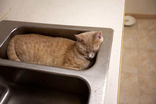 Chat dans un évier