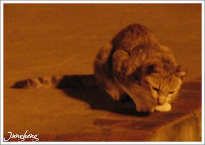 低頭找東西的貓