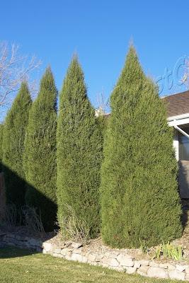 Denver Landscape Plants Spearmint Juniper