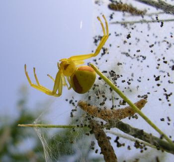 Misumena vatia