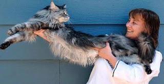 kucing terpanjang