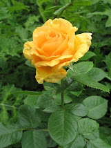 Vẻ đẹp hoa hồng