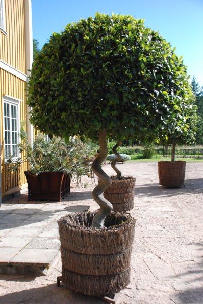 stora växter utomhus