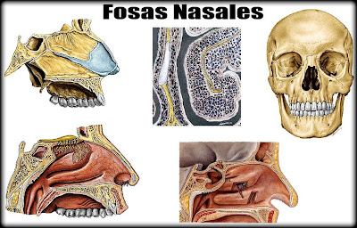 03 sistema respiratorio las fosas nasales for Paredes orbitarias