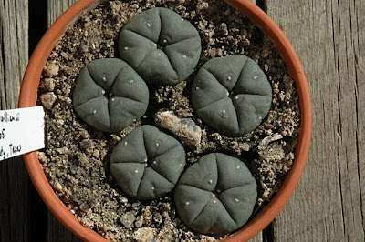 Lophophora williamsii (SB 854; Starr Co, Texas), 2005