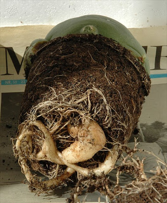 Root-bound Lophophora cactus