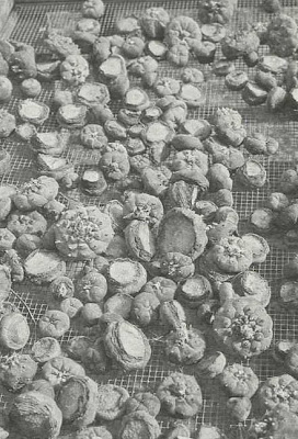 Fig. 6 - Freshly harvested peyote tops that are being dried for sale to Native Americans