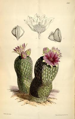 Pelecyphora aselliformis, Curtis's Botanical Magazine – plate 6061 (vol. 99, 1873)