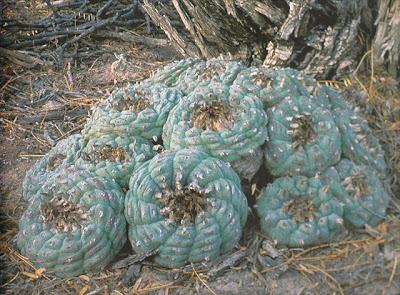 Lophophora williamsii - El Oso, Coahuila