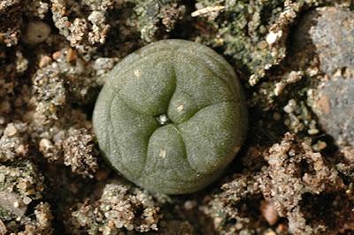 Lophophora diffusa (Higuerillas, Queretaro, Mexico)