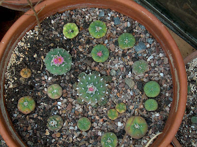 Large pot of Lophophora fricii