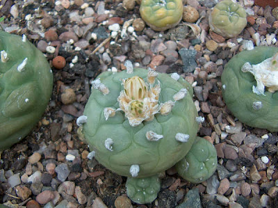 Lophophora diffusa about to flower