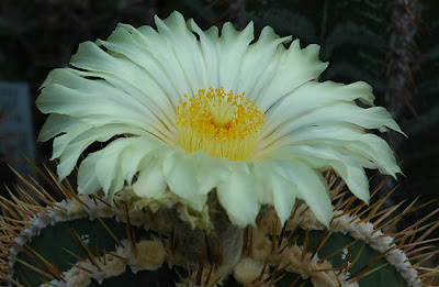 Astrophytum ornatum flower