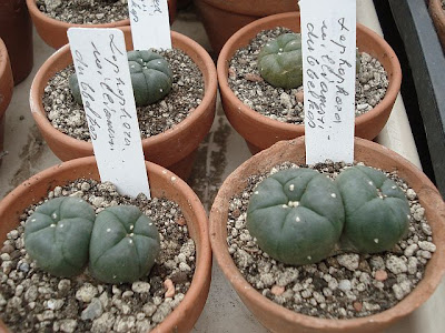 Collection of two-headed Lophophora williamsii