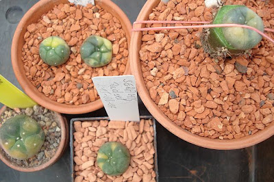 Collection of variegated Lophophora williamsii