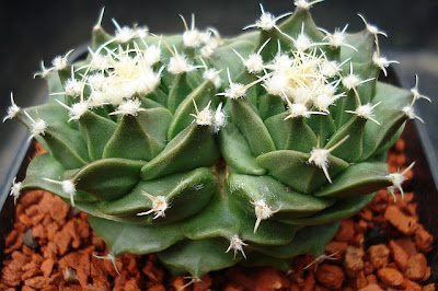 Two-headed Obregonia denegrii