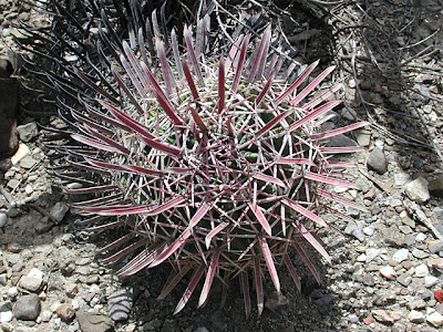 Ferocactus latispinus, Oaxaca, Mexico