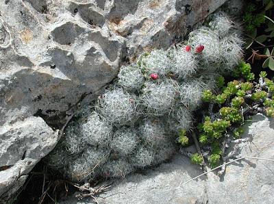 Mammillaria kraehenbuehlii, Oaxaca, Mexico