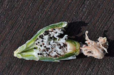 Gymnocalycium calochlorum fruit with exposed seeds