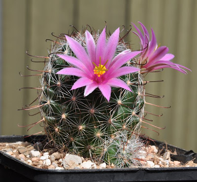 Flowering Mammillaria grahamii