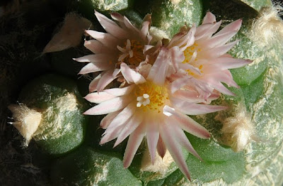 Lophophora koehresii flowers, top view