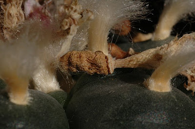 Dried Lophophora williamsii fruit