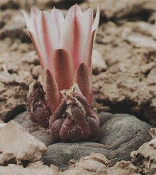 Flowering Lophophora alberto-vojtechii
