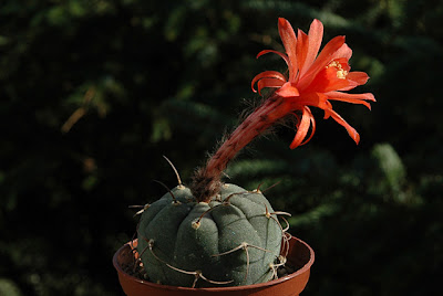 Flowering Matucana madisoniorum