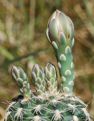 Gymnocalycium calochlorum flower buds
