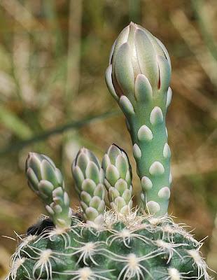 Gymnocalycium calochlorum flower buds