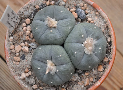 Coldhouse grown Lophophora williamsii (SB 854; Starr Co, Texas)