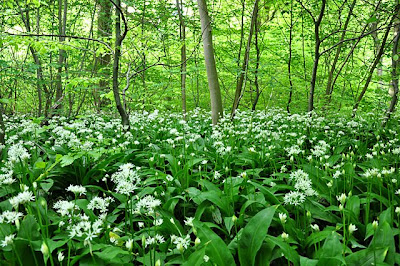 Flowering ramsons covering the forest floor