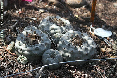 Untouched peyote plant (#154) from the control group
